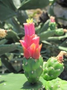 Korte PHI - Grounding Opuntia 15ml