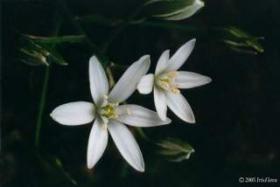 Iris Flora - Star of Bethlehem / Doldiger Milchstern 20ml