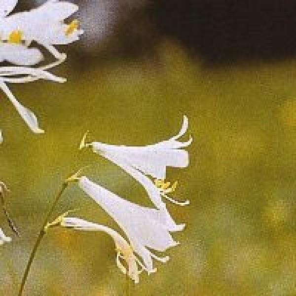 Korte PHI - Lys Blanc / White lily 15ml