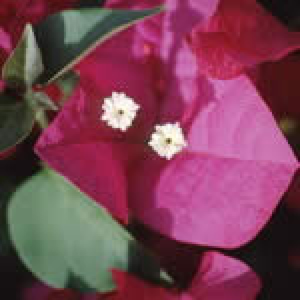 Bougainvillea 10ml