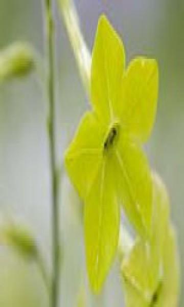 F.E.S. - Green Nicotiana (Ziertabak)