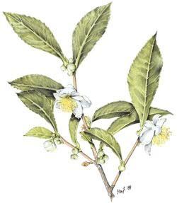 Körbler Grüner Teestrauch