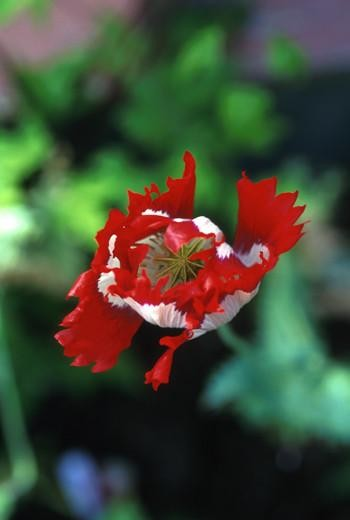 Alaska - Opium Poppy