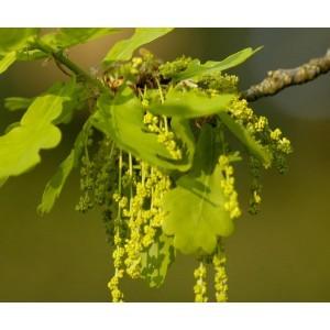 Mamboya - Eiche / Oak 10ml
