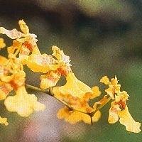 Korte PHI - Love Orchid 15ml