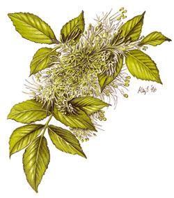 Körbler Blumen-Esche 10ml