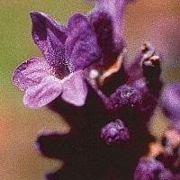 Korte PHI Lavande / Lavender 15ml