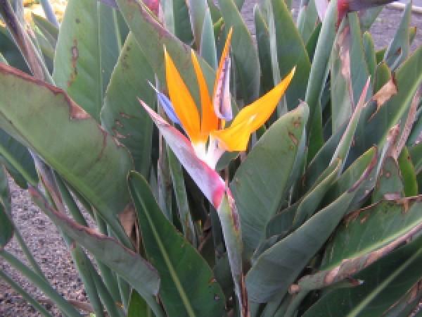 Korte PHI - Paradiesvogelblume 15ml