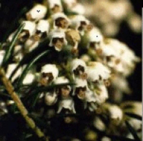 Korte PHI - Bruyère arborescente 15ml