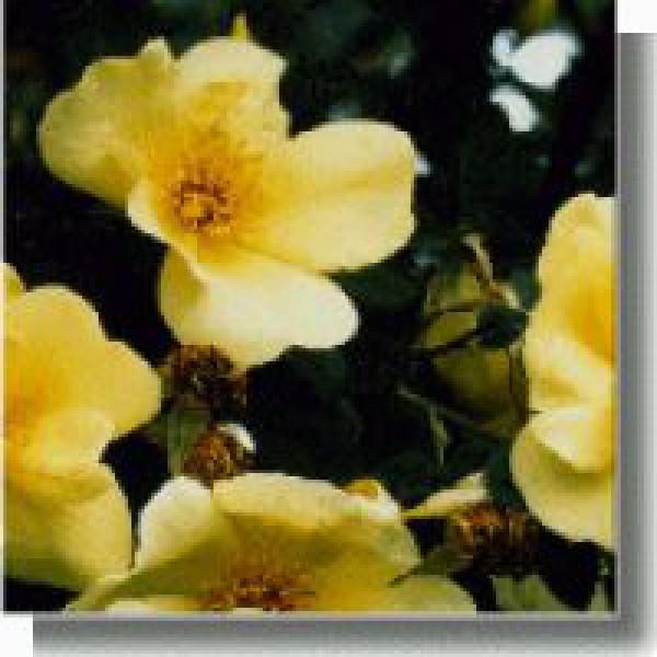 Korte PHI - Frühlingsgold 15ml