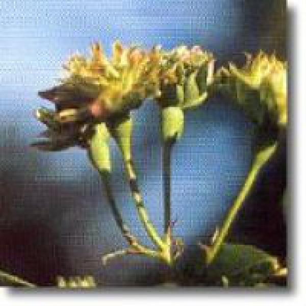 Korte PHI - Grüne Rose 15ml