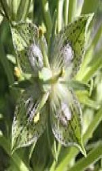 F.E.S. - Green Cross Gentian (Grüner kreuzblättriger Enzian) 7,5ml