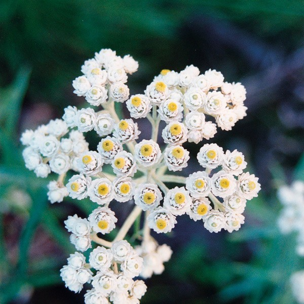 Pacific - Pearly Everlasting 25ml