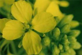 Iris Flora - Mustard / Ackersenf 20ml