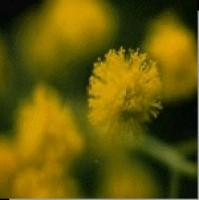 Korte PHI - Mimose 15ml