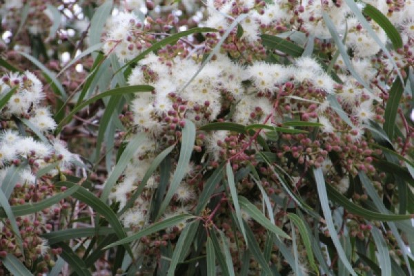 Korte PHI - Eukalyptus 15ml