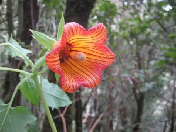 Korte PHI - Kanarische Kletterglockenblume 15ml