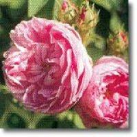 Korte PHI - Provence Rose 15ml