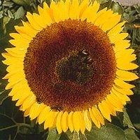 Korte PHI - Tournesol / Sunflower 15ml