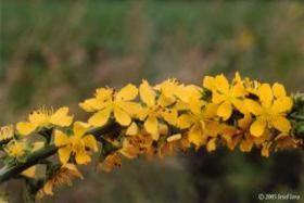 Iris Flora - Agrimony / Odermenning 20ml