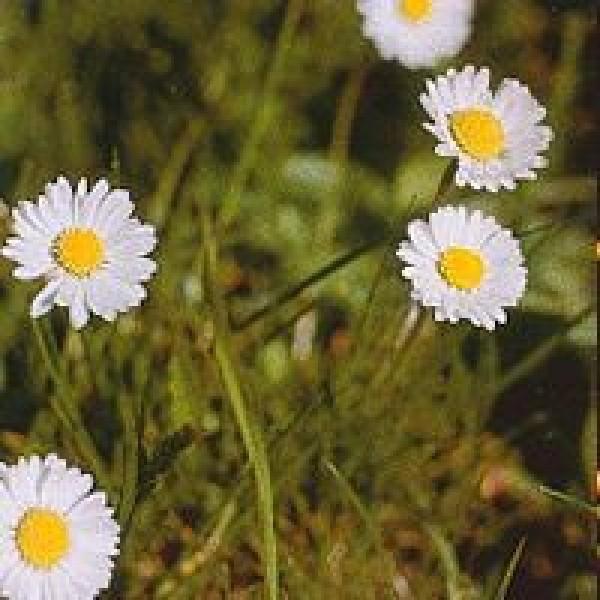 Korte PHI Gänseblümchen 15ml