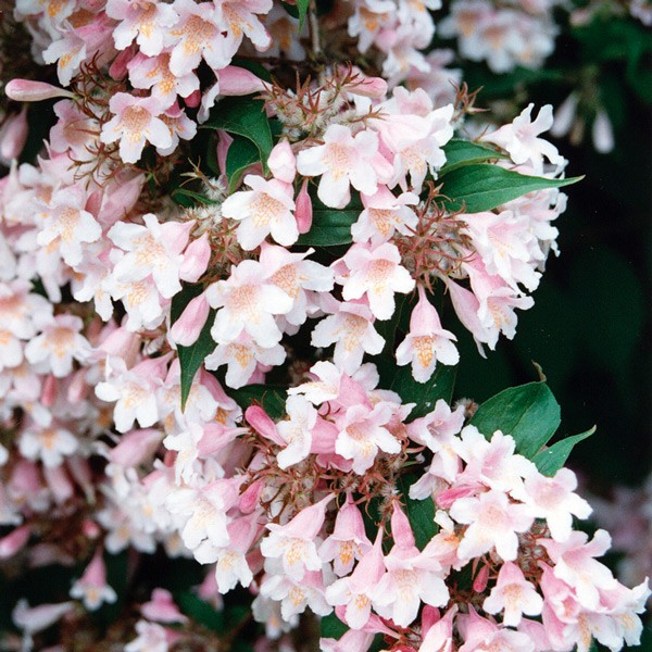 Pacific - Weigela 25ml