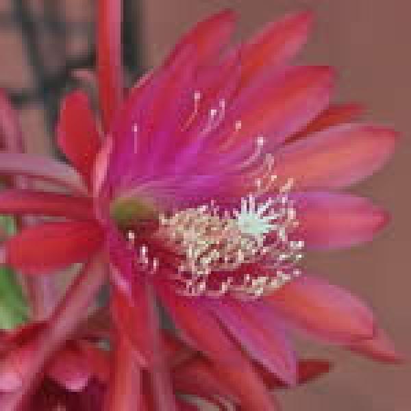 Red-Orange Epiphyllum 10ml