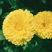 Korte PHI - Souci / Pot-Marigold 15ml