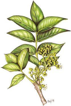 Körbler Amur-Korkbaum 10ml