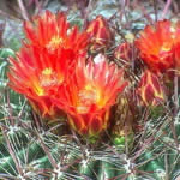 Candy Barrel Cactus 10ml