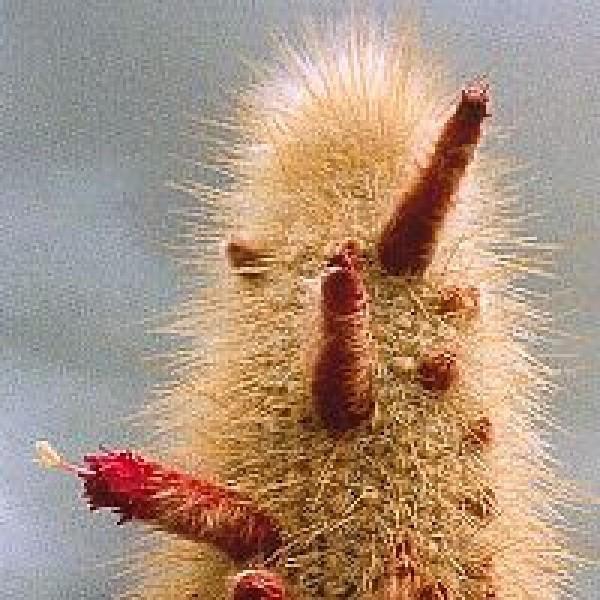 Korte PHI - Aura-Cleansing-Cactus (Silberkerze) 15ml