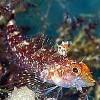 Korte PHI - Schleimfisch
