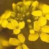 Korte PHI Mustard (Moutarde) 15ml