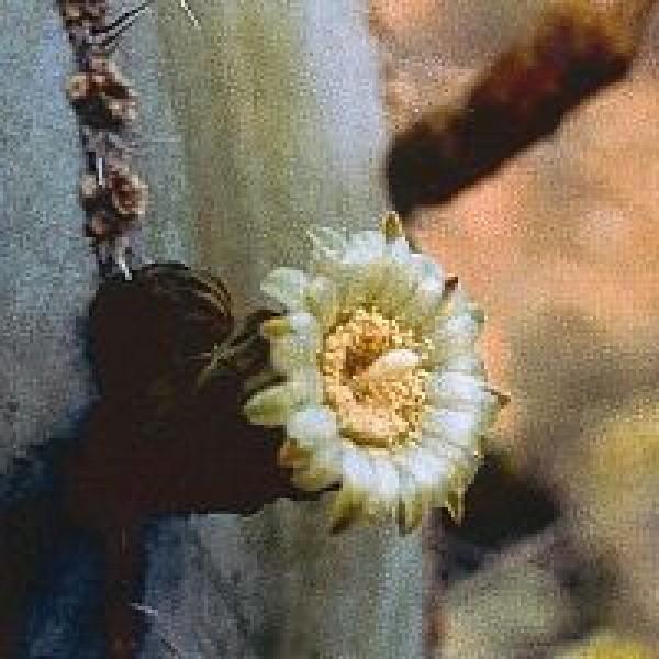 Korte PHI - Noble Heart Cactus 15ml