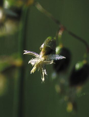 Alaska - Sweetgrass 7,5ml