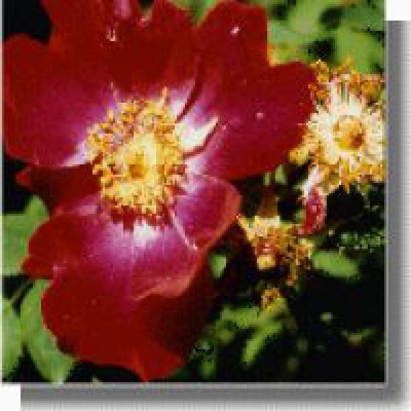 Korte PHI - Rose tibétaine 15ml