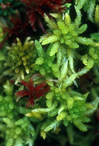 Alaska - Sphagnum Moss