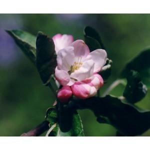 Mamboya - Apfel 10ml