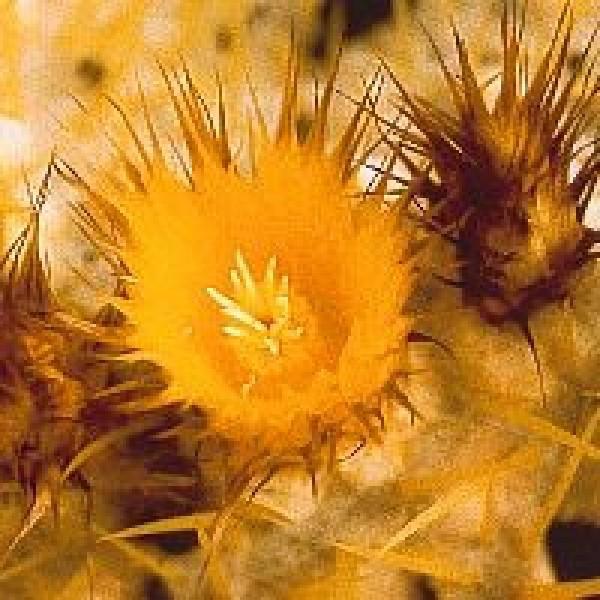 Korte PHI - Golden Barrel-Cactus (Schwiegermuttersessel) 15ml