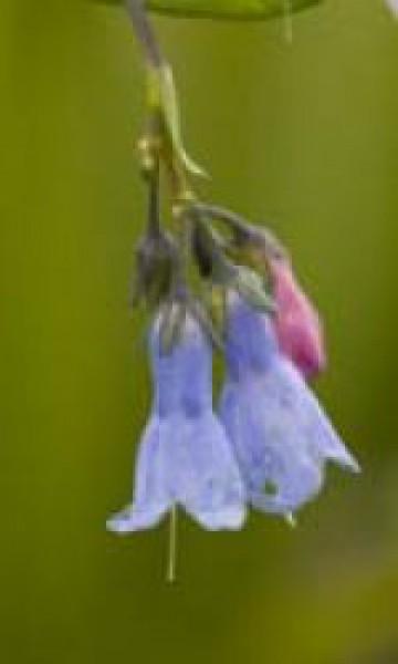 F.E.S. - Lungwort (Blauglöckchen) 7,5ml