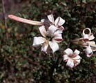 F.E.S. - Shasta Lily (Shasta Lilie) 7,5ml