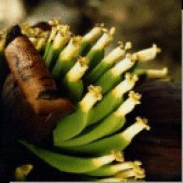 Korte PHI - Banane 15ml