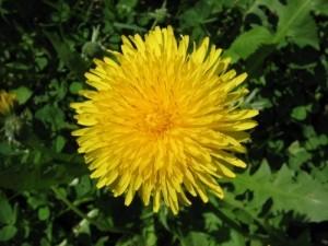 Korte PHI - Pissenlit / Dandelion 15ml