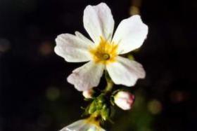 Iris Flora - Water Violet / Sumpfwasserfeder 20ml